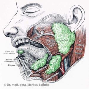 Speicheldrüsen - Illustration
