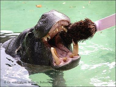 Ein Nilpferd bei der Dentalhygiene